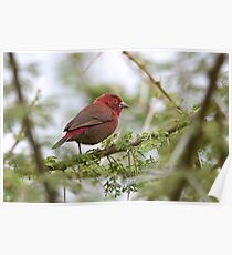 Red-billed Firefinch Poster