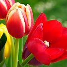 Rainbow Tulips by David Carton