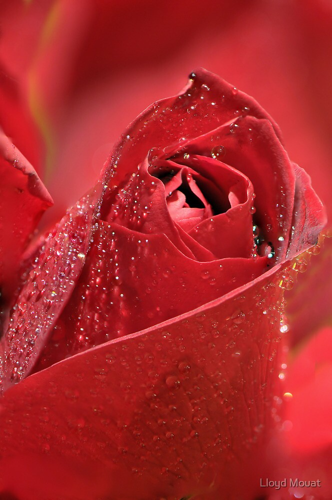 Red Rose by Lloyd Mouat
