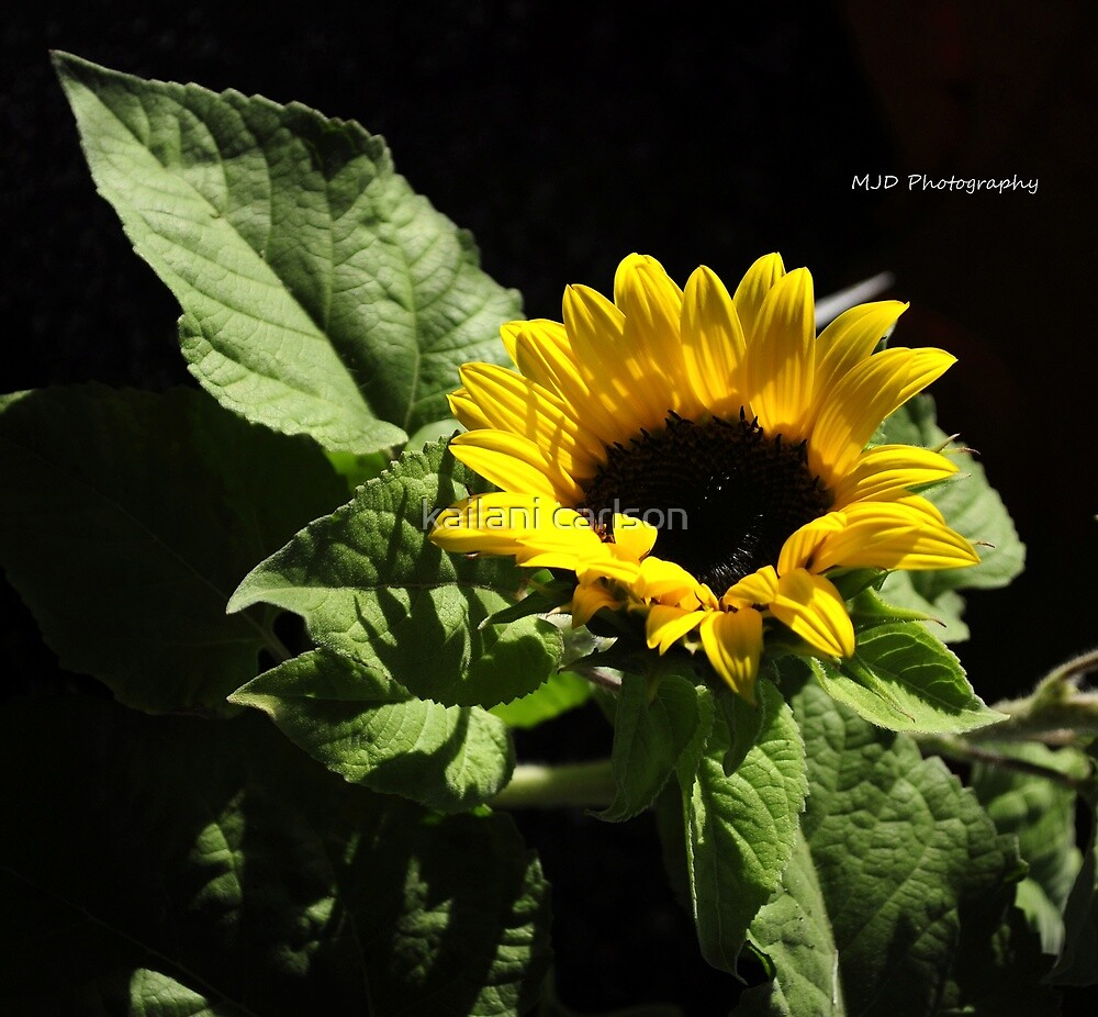 sunflower by CarlsonImagery