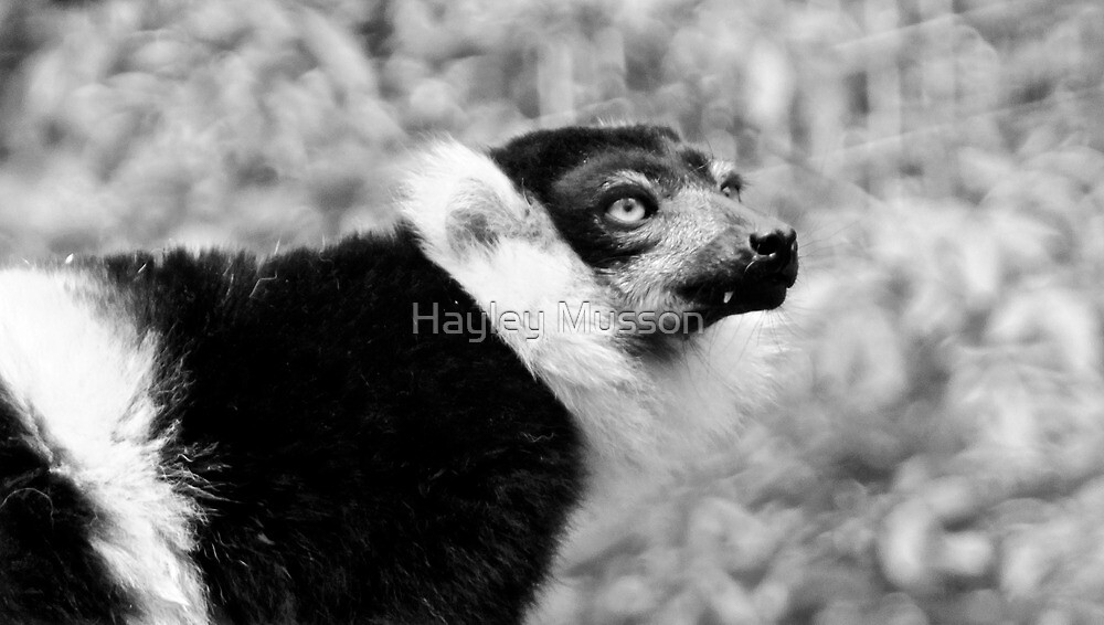 Lemur (2) by Hayley Musson