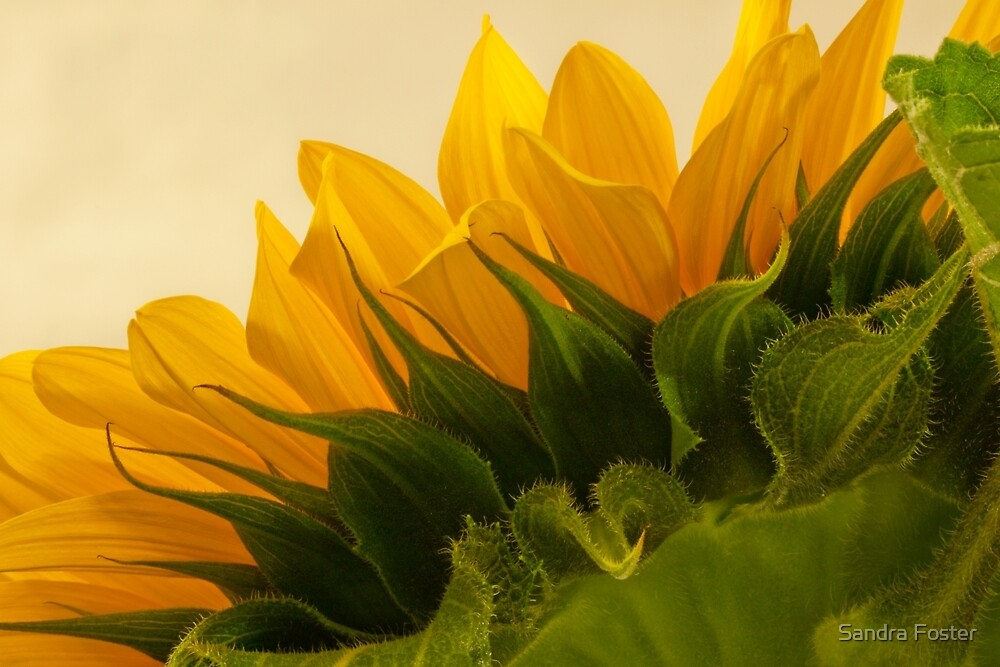 Sunshine Under The Petals  by Sandra Foster
