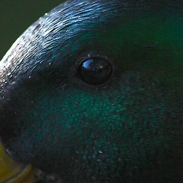 Duck by Lazzolino