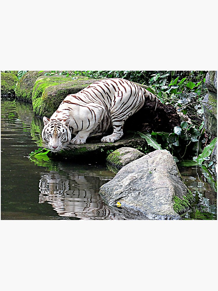 White Tiger and Reflection by Covecritters