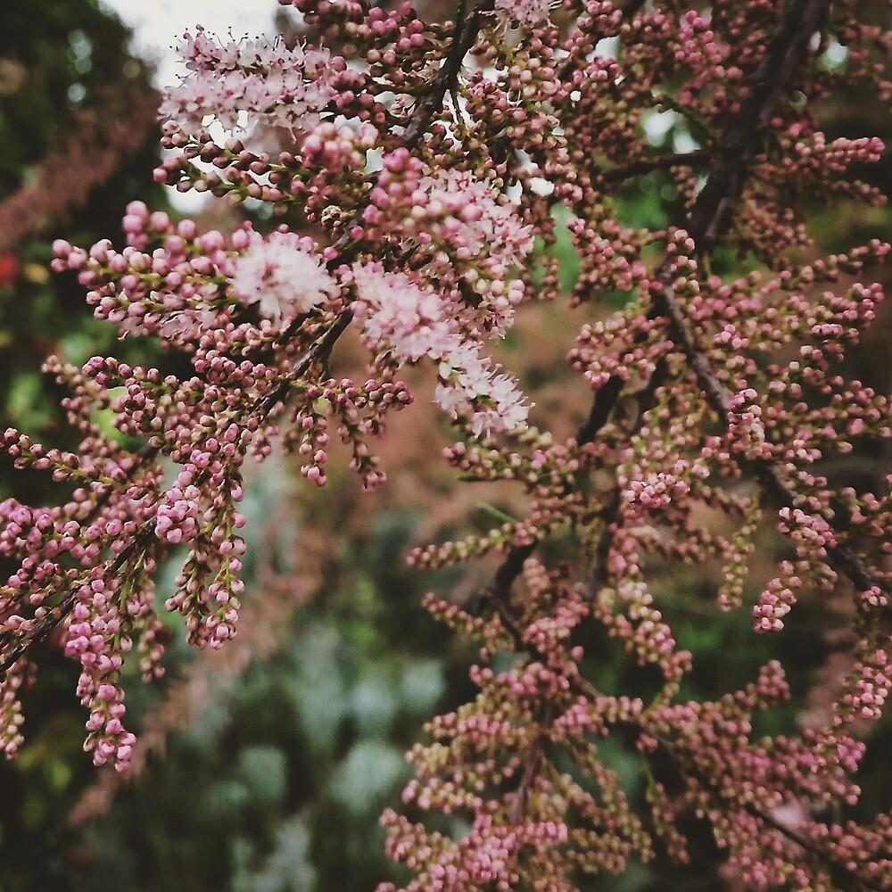 Tamarix flowers by threegreenbees