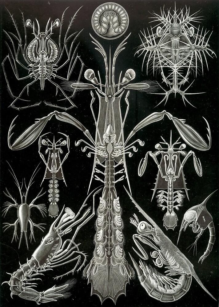 Haeckel Thoracostraca by indigoferal