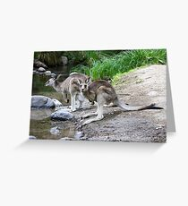 Eastern Grey Kangaroos  Greeting Card