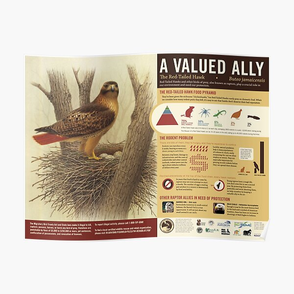 The Red-Tailed Hawk: A Valued Ally poster Poster
