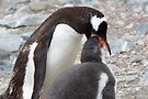 """Gentoo Penguin and Chick ~ """"Pre-packaged Krill"""" by Robert Elliott"""