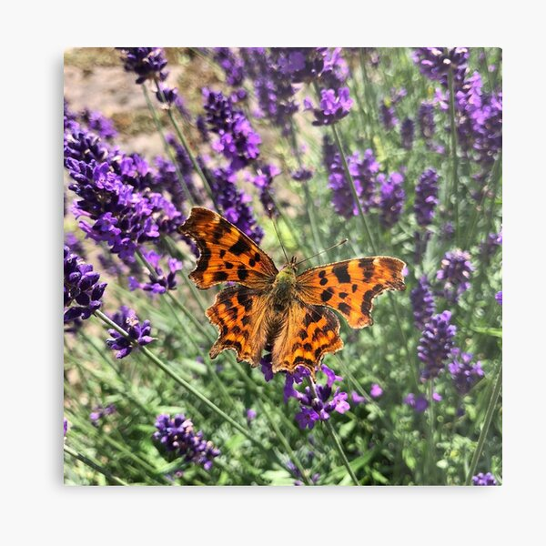 A Beautiful Butterfly on my Lavender by Rochelle McConnachie Metal Print