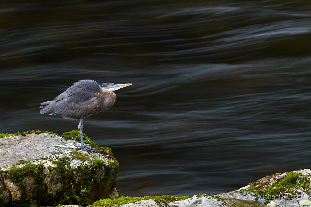 Great Blue Heron at the Capilano River by Michael Russell
