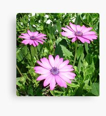 Pink Daisies of Summer Canvas Print