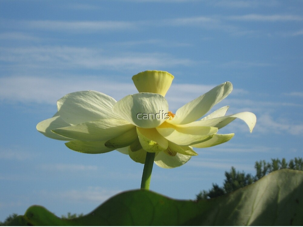 lotus in full bloom by candis