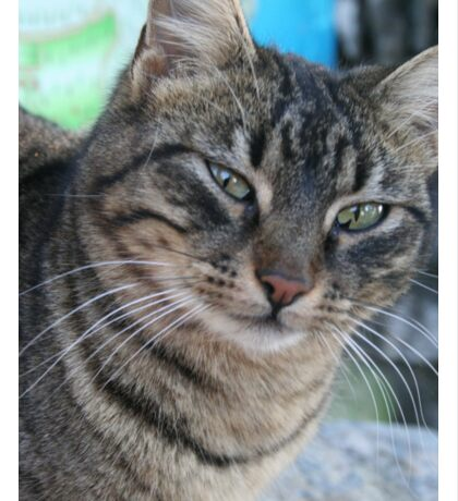 Inquisitive Tabby Cat With Green Eyes Sticker