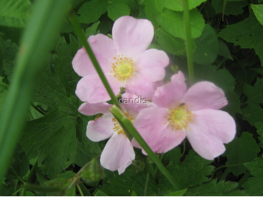 Wild Roses by candis