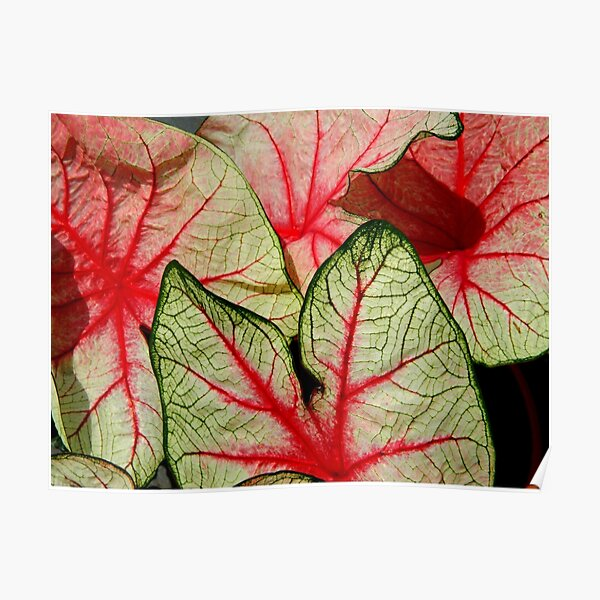 Caladium Leaves   ^ Poster
