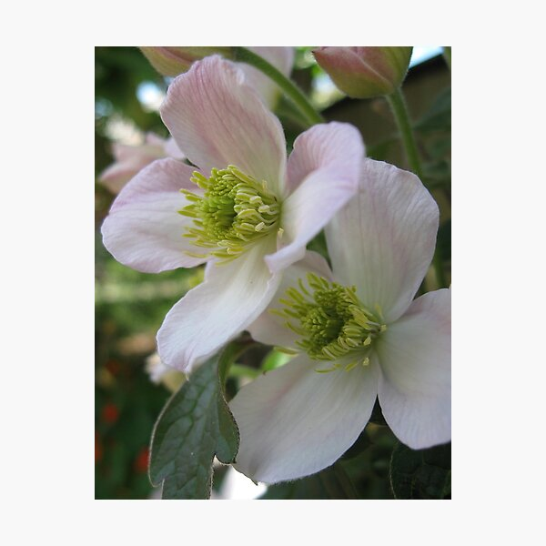 Clematis flowers Photographic Print