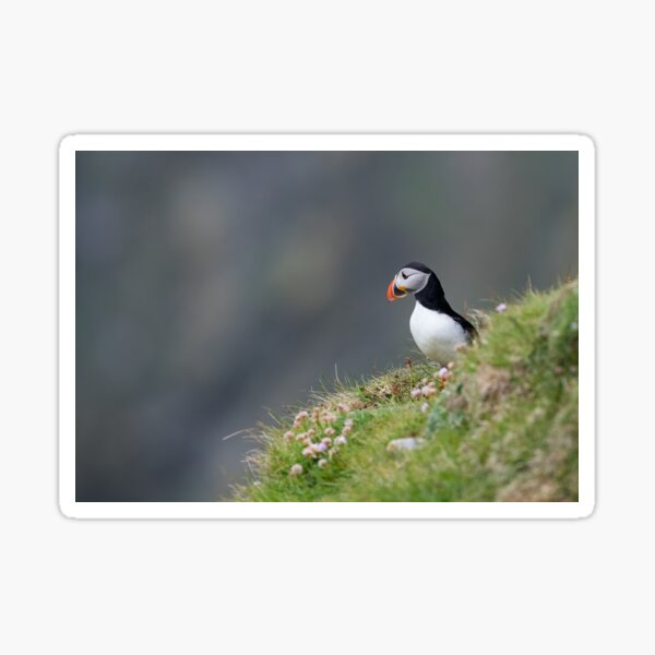 North Atlantic puffin Sticker