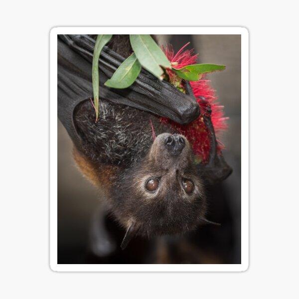 Black Flying Fox with Bottlebrush Flower Sticker