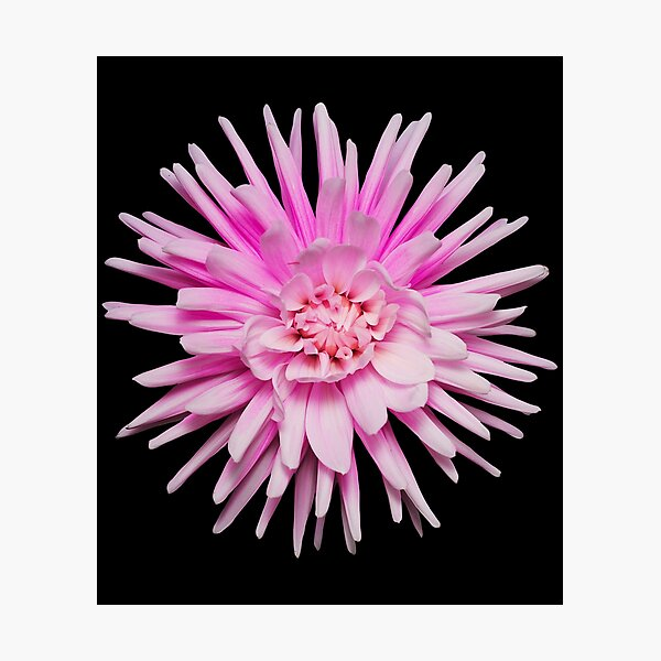 Wild pink dahlia flower photo Photographic Print