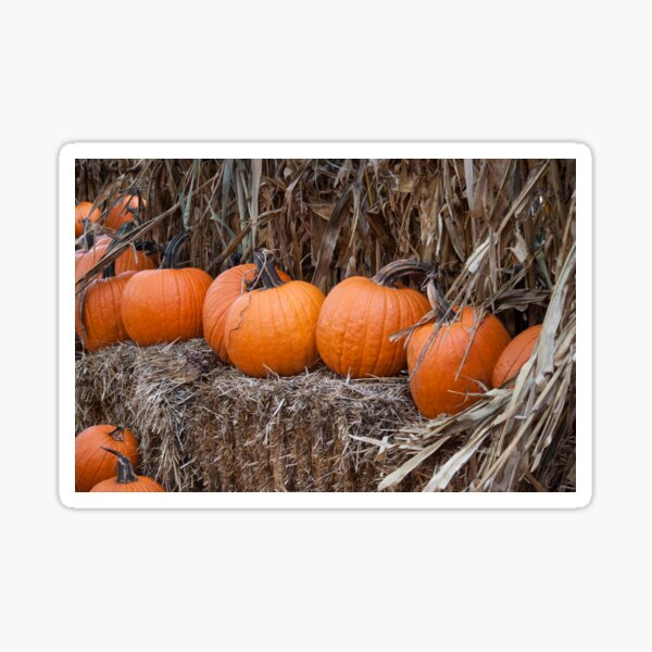 Pumpkins in a Row Sticker