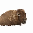 Bison in snow by Jim Cumming