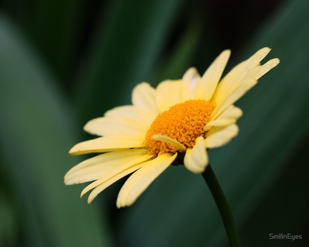 Glorious Daisy Flower by SmilinEyes
