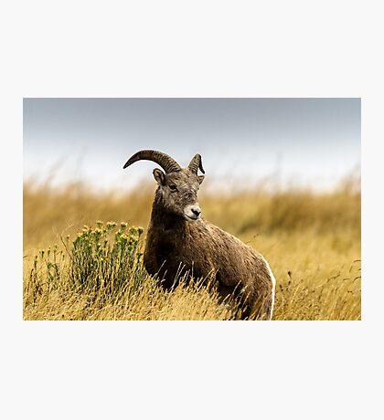 Portrait of a Bighorn - (Ovis condenses) Photographic Print