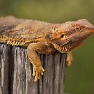 Inland Bearded Dragon by Steve Bullock