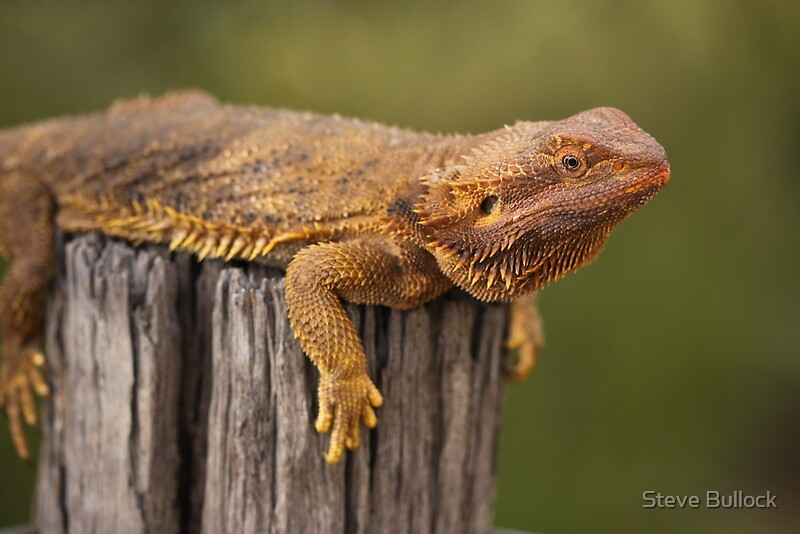 the characteristics of the inland bearded dragon Pogona vitticeps, the central (or inland) bearded dragon, is a species of agamid lizard occurring in a wide range of arid to semi-arid regions of australia this species is very popularly kept as a pet and exhibited in zoos.