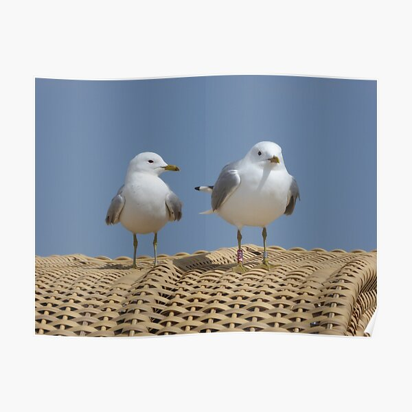 Seagulls on a beach chair Poster