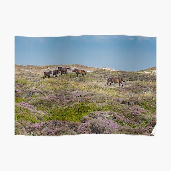 Wild horses on beautiful heathland Poster
