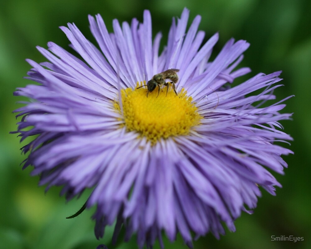 Bee On Purple Daisy Flower by SmilinEyes