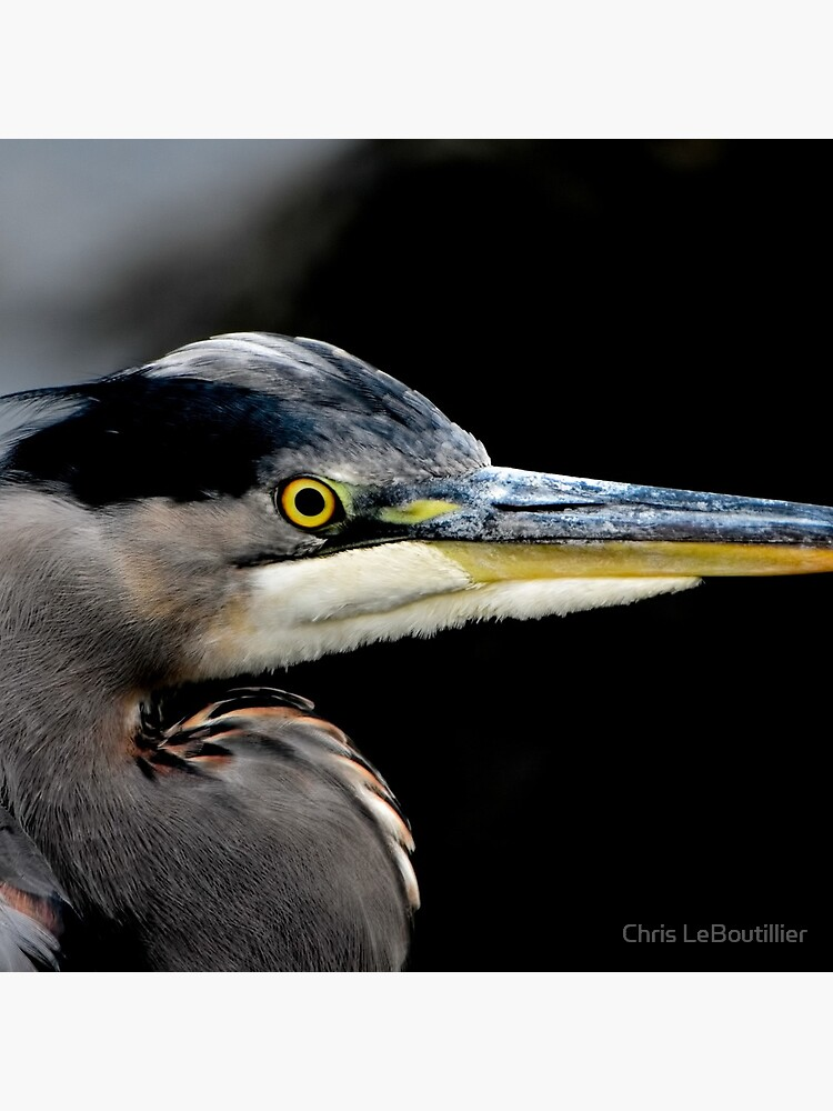 Great Blue Heron by C-LeBoutillier