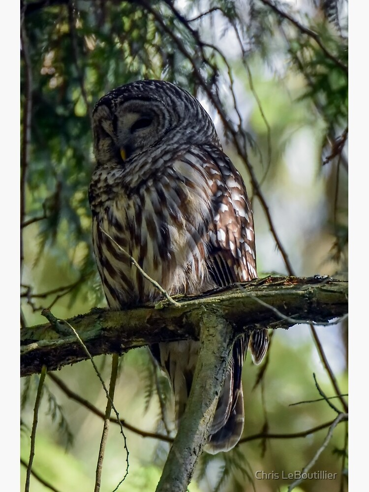 Barred Owl by C-LeBoutillier