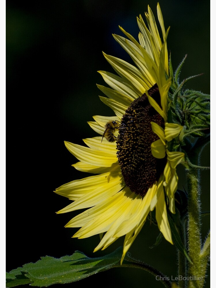 Yellow Sunflower N Bee by C-LeBoutillier