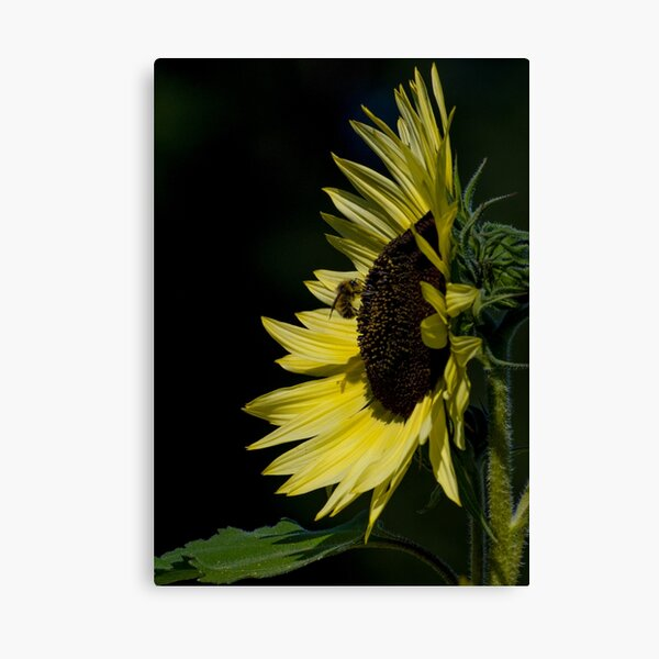 Yellow Sunflower N Bee Canvas Print
