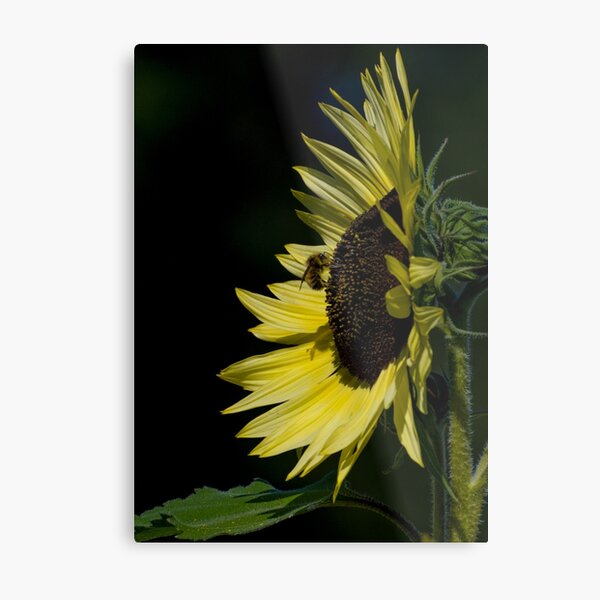 Yellow Sunflower N Bee Metal Print