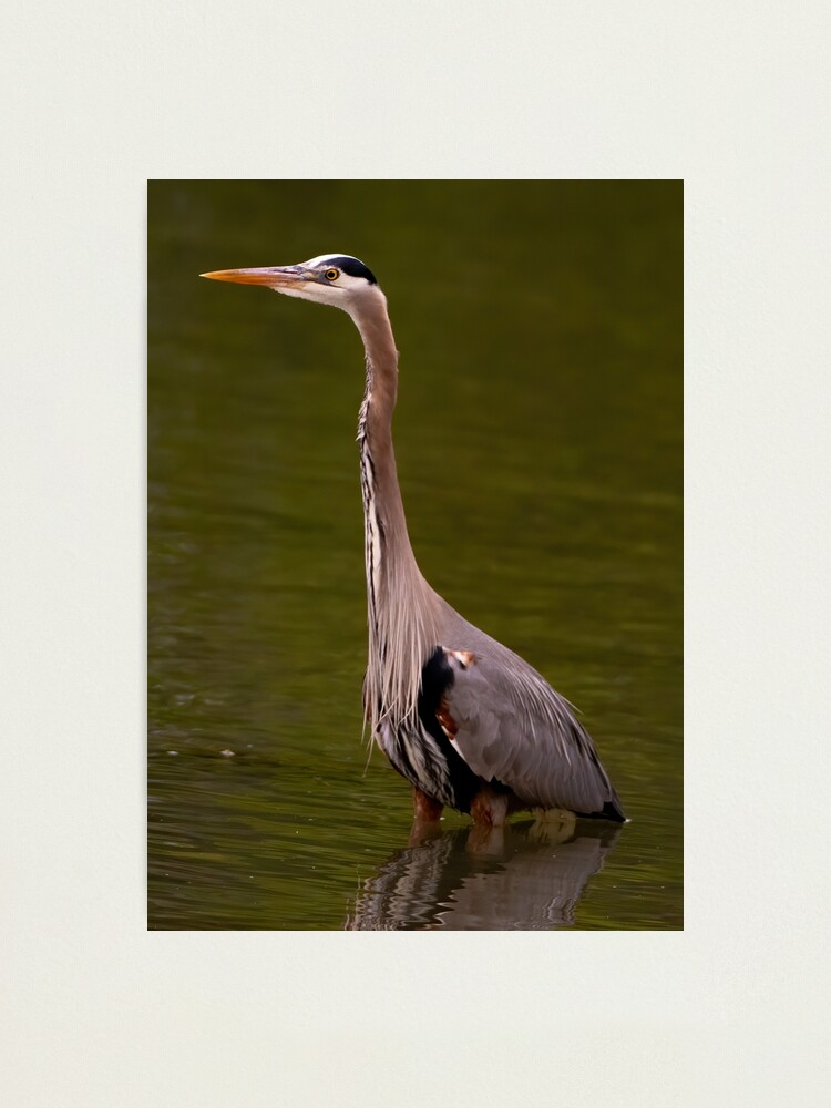 Alternate view of Great Blue Heron Photographic Print
