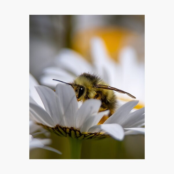 Daisy N Bee Photographic Print