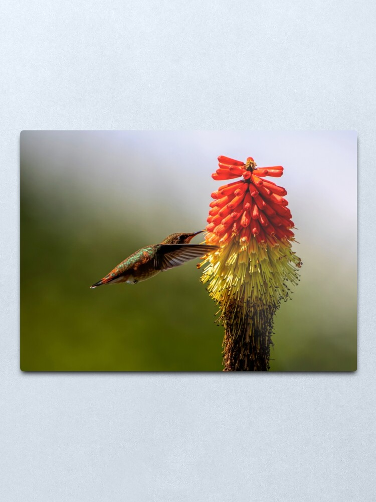 Alternate view of Rufous Hummingbird Metal Print