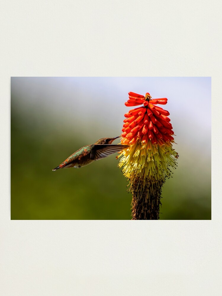 Alternate view of Rufous Hummingbird Photographic Print