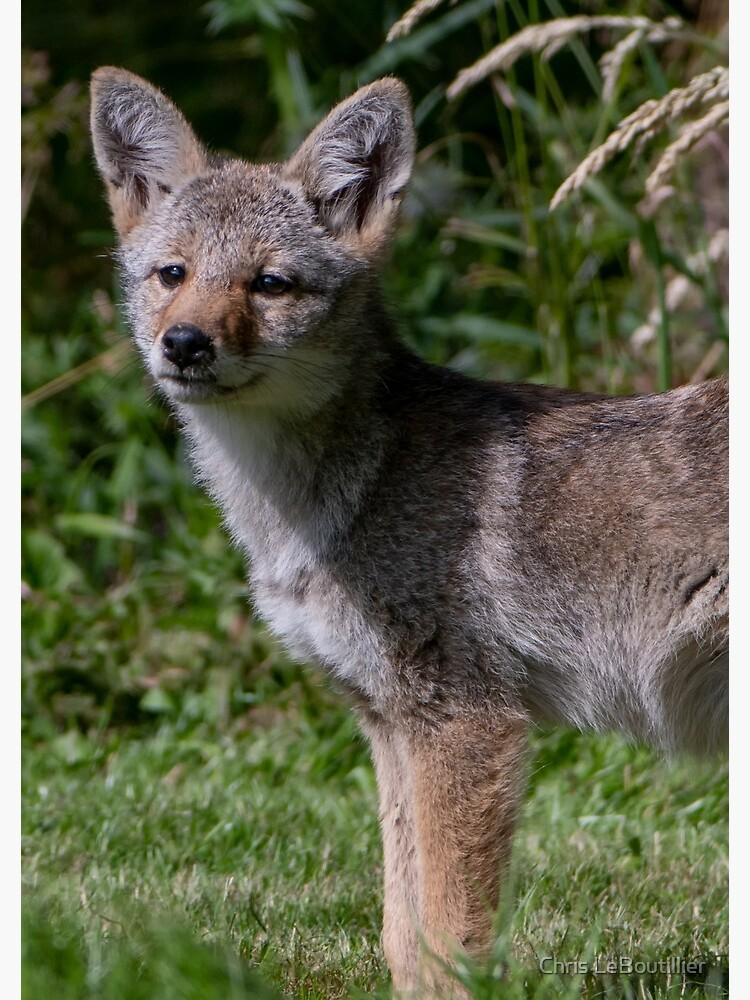 Wild Coyote Pup by C-LeBoutillier