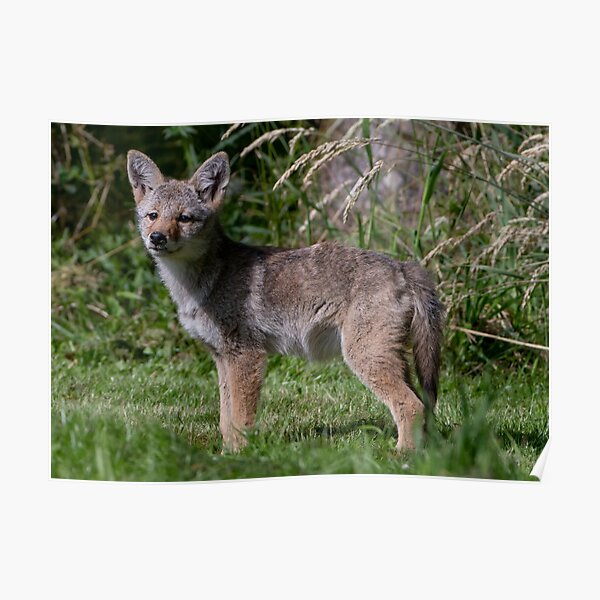 Wild Coyote Pup Poster