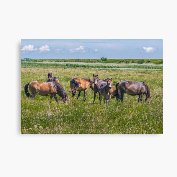 Wild horses enjoying Danish summer Canvas Print