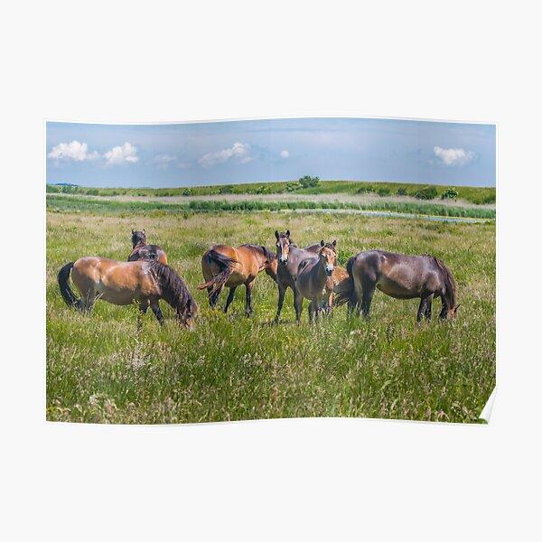 Wild horses enjoying Danish summer Poster