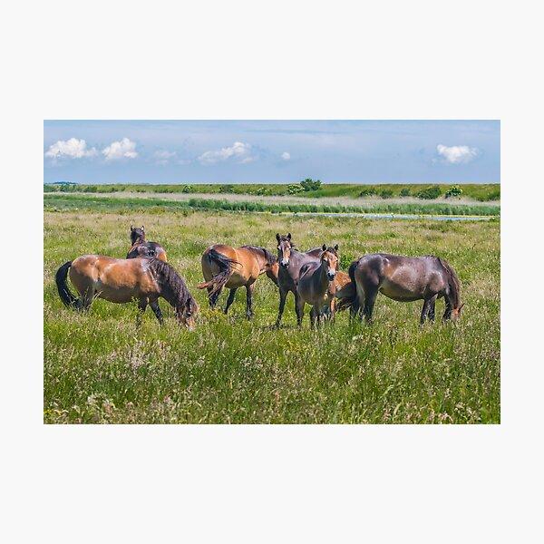 Wild horses enjoying Danish summer Photographic Print