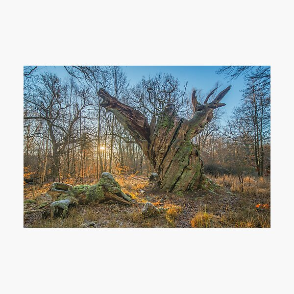 Sunrise with dying old oak - or a troll frozen in time Photographic Print