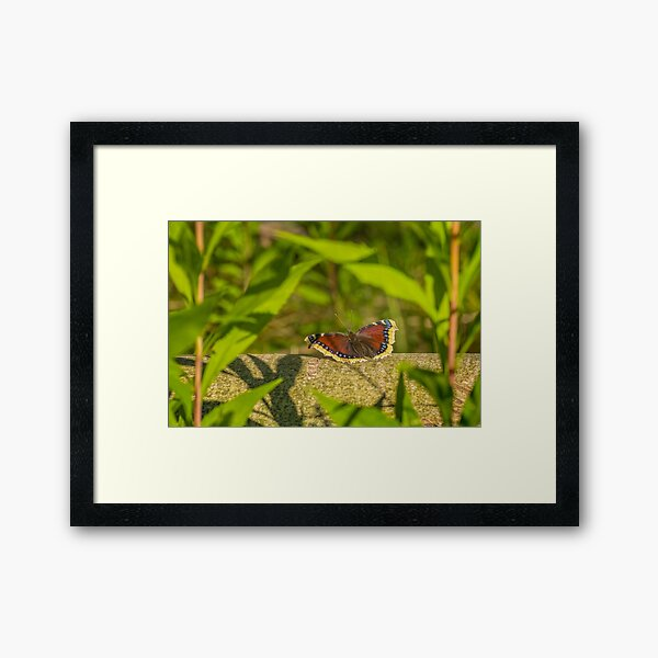 Butterfly in the forest: enchanting Mourning cloak Framed Art Print