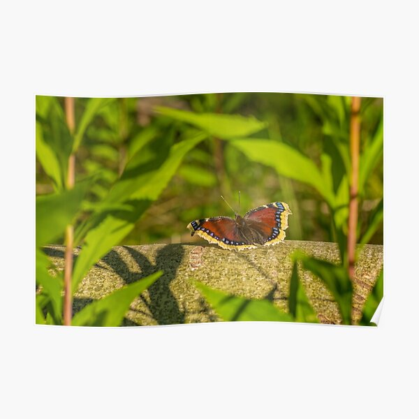 Butterfly in the forest: enchanting Mourning cloak Poster